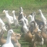 Point of Lay Ducks for sale.