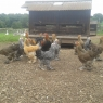 Brahmas for sale>