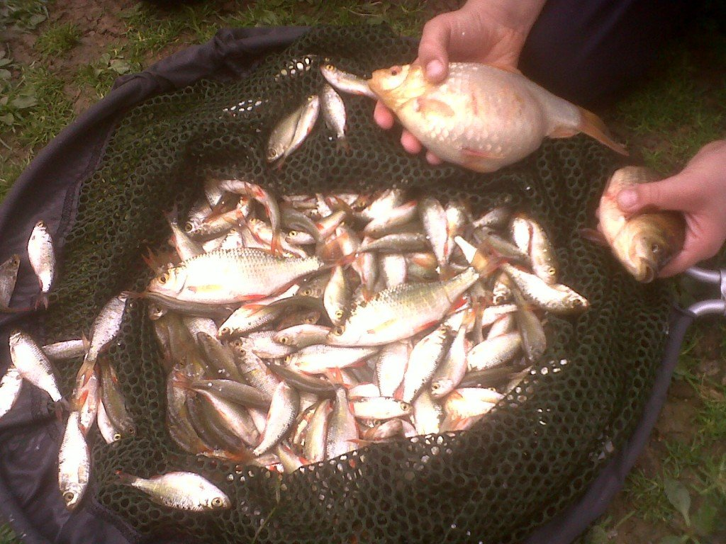 Pond fish gold fish and rudd for Fishpond uk
