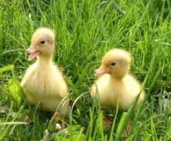 Call Ducklings  we do not sell day old call ducks .