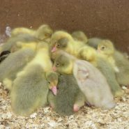 goslings huddled
