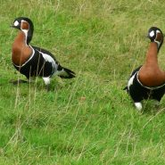 red breasted geese 2