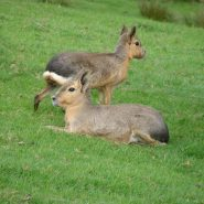 pair of mara