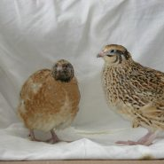 Golden Giant Quail
