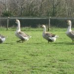 AFRICAN GEESE_1
