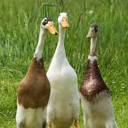 Point of Lay Chickens, Ducks and Poultry For Sale at